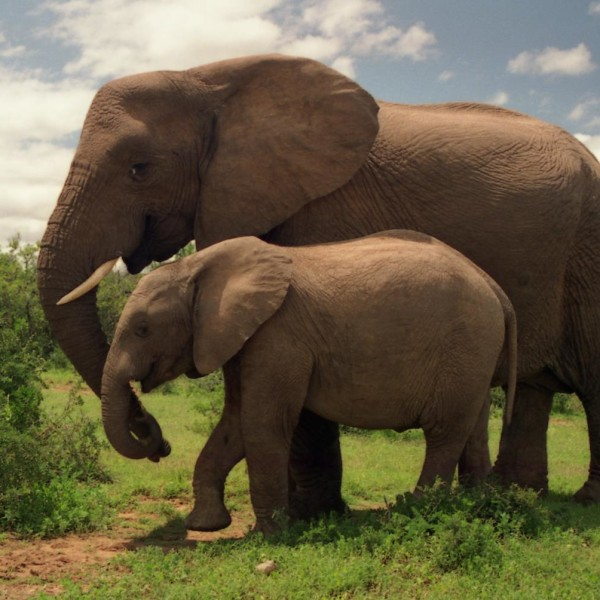 Two_Elephants_in_Addo_Elephant_National_Park